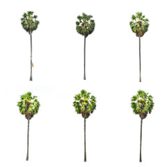 Foto op Plexiglas Palm boom Betel palm tree isolated on white background.