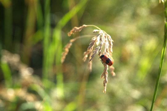 leaf beetle Cryptocephalus bipunctatus on flowering grass