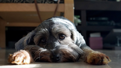 Black color mixed breed dog with big bright eyes lying down on the floor Fototapete