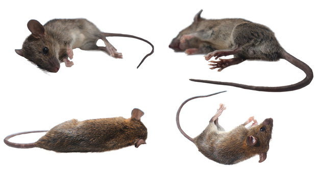 Many dead mice (Mouse) on a white background