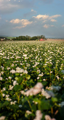 Fototapete - agriculture buckwheat blossom field with tractor on horizon and cloudly sky