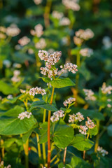 Fototapete - Close-up of buckwheat bloom