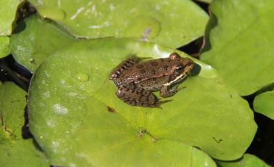 Photo sur Toile Grenouille grenouille et feuille