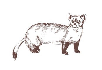 Pine marten hand drawn with contour lines on white background. Elegant detailed drawing of carnivorous animal. Wild forest species. Monochrome realistic vector illustration in antique etching style. Wall mural