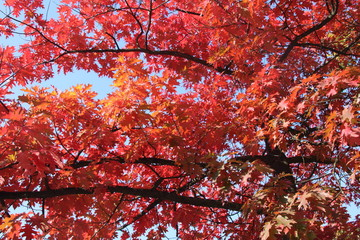 Deurstickers Rood paars Autumn, red and yellow maple tree, autumnal ornament/