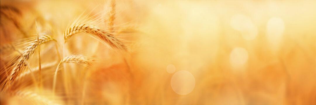 Golden wheat field in late summer