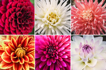 Collage from different pictures of autumn flowers dahlias