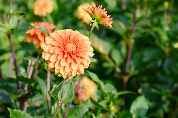 Keuken foto achterwand Dahlia flowering dahlia in the garden
