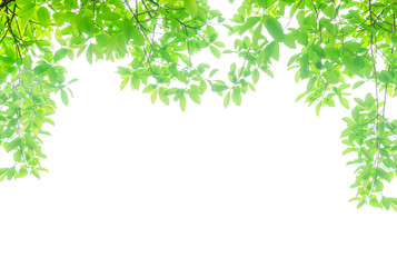 green leaves isolated white background with clipping path. nature frame for decoration design. Wall mural