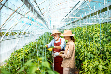 Young woman with grandfather taking care of pepper plantation in the hothouse of a small agricultural farm. Concept of a small family agribusiness Wall mural