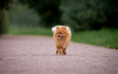 Little red dog breed Spitz autumn is on a wide path in the Park