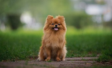 Little red dog breed Spitz autumn sitting in a clearing in the Park in the leaves