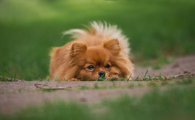 The little red-haired dog breeds Spitz in autumn sad lies on the meadow in the Park in the leaves
