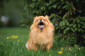 Little red dog breed Spitz autumn in the Park at the Christmas tree yawns