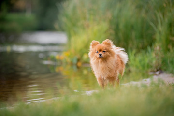 The little red-haired dog breed Spitz fall is on the lake