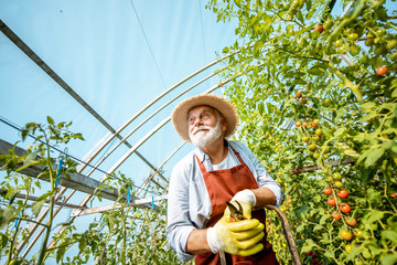 Smiling man on ladder in greenhouse with tomatoes