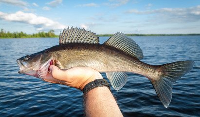 Nice summer zander fishing trophy