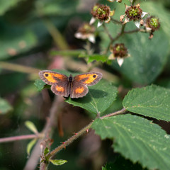 The Gatekeeper or Hedge Brown (Pyronia tithonus) butterfly resting on a Blackberry leaf