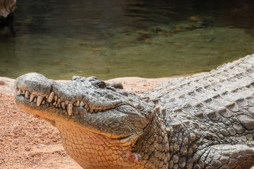 Nile crocodile (Crocodylus niloticus), the largest freshwater predator in Africa, found in in lakes, rivers, and marshlands.