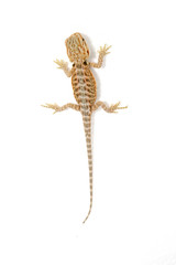 baby bearded dragon on a white background