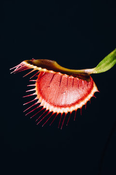 Dionaea muscipula ? a carnivorous plant also known as the Venus fly trap that catches food