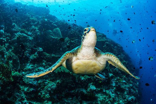 Green Sea Turtle on Coral Reef