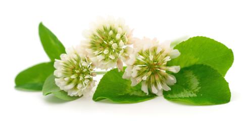 White clover flowers.