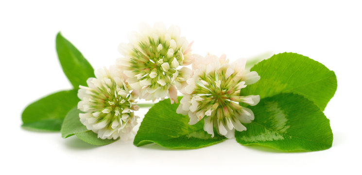 White clover flowers.