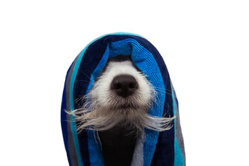 Funny dog puppy wrapped with a blue striped towel ready for a bath showing the beard and nose. Isolated on white background.
