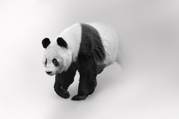 Giant panda bear adored by the world and considered a national treasure in China Wall mural