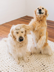 golden retriever smugly smacking another on the head