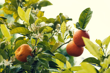 Three bitter orange fruit on a tree with white blossoms No people Selective focus