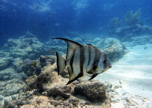 An underwater photo of a Spade fish swimming in the ocean.