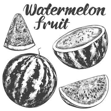 fruit watermelon hand drawn vector illustration realistic sketch