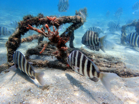 Sheepshead fish swimming through the coral and rock reef.