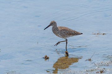 Posed Willet in Ocean Wetland