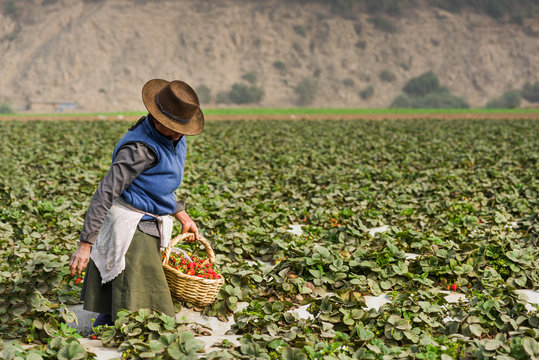 A woman harvesting strawfields in a field