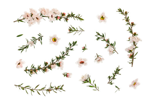 closeup of white manuka tree flowers and twigs arranged on white background