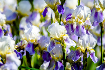 Fond de hotte en verre imprimé Iris blue irises, iris, botanical, smell, perennial, gardening, garden, flora, flower, botany, ecology, fragrant, arboretum, species, wild, wildlife, living, natural, beautiful, green, summer, foliage, nat