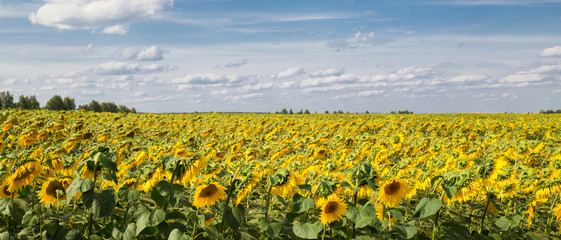 A field with sunflowers. Summer landscape
