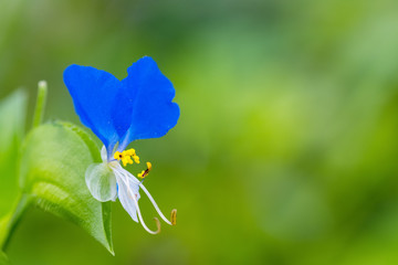 blue small flower closeup