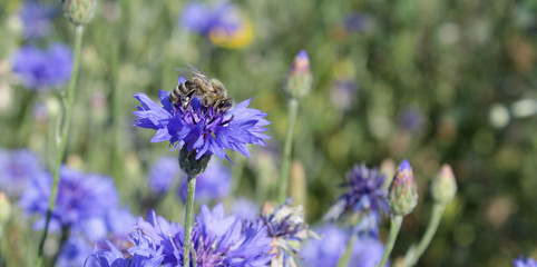 Kornblume mit Biene, Blumen, Bienenwiese