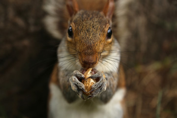 Squirrel holds a peanuts in the park, horizontal picture