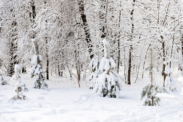 small pines in winter forest