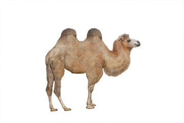 Poster Chameau camel isolated on white background