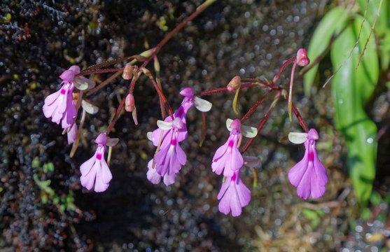 Orchidee Cynorkis lowiana