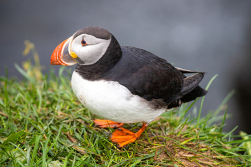 close-up of  Atlantic puffin (Fratercula arctica), the common puffin in Borgarfjörður a fjord in the west of Iceland near the town of Borgarnes