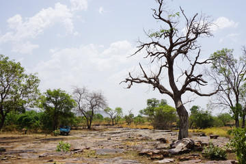 Tree in a dry riverbad in dry season in northern Togo