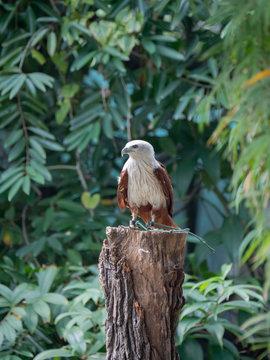 Brahminy Kite (Red backed Sea Eagle)