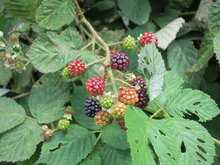 detail of a black berry bush or bramble with green, red and black berries